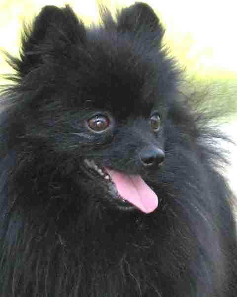 black Pomeranian named Toby came in to the vet's office for ...